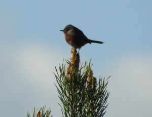 Dartford Warbler on Normandy heathland